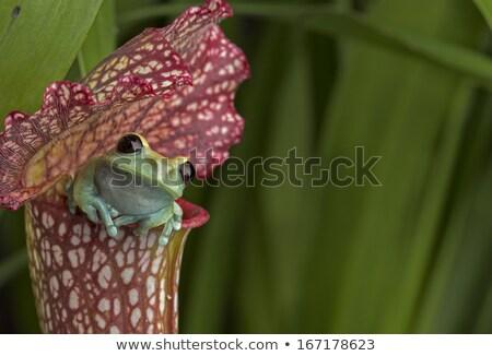 темно-бордовый красный завода зеленый лягушка Сток-фото © jeffmcgraw