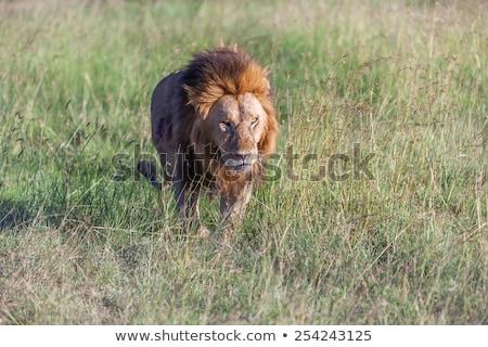 Сток-фото: лев · зеленая · трава · саванна · кошки · зеленый