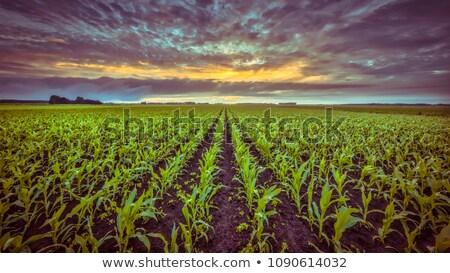 Kukoricamező naplemente természet felhő mezőgazdaság aratás Stock fotó © CaptureLight