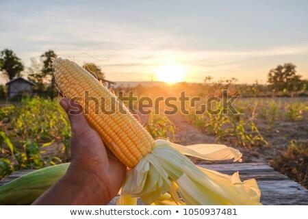 Farmer holding harvested corn cob Stock photo © stevanovicigor
