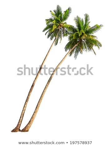 Stock photo: Coconut tree - 2