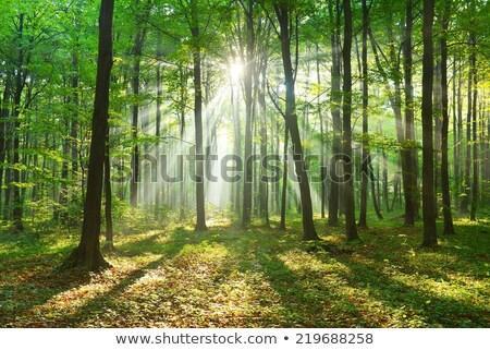 Zonnestralen boom ochtend mist natuur foto Stockfoto © Juhku