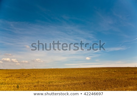 acres after harvest are looking golden in the sun with blue sky stock photo © meinzahn