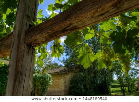 Uva foglia percorso verde foglie vite Foto d'archivio © Undy