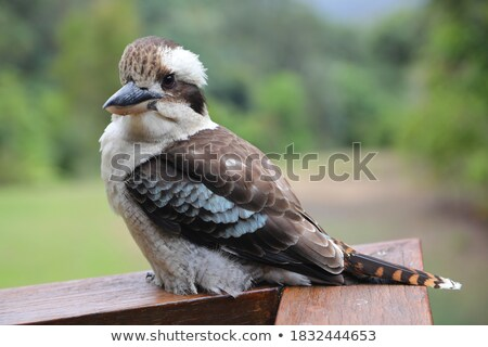 Kookaburra Stock photo © bluering