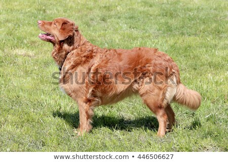 Typical Nova Scotia Duck Tolling Retriever in the garden Stock photo © CaptureLight