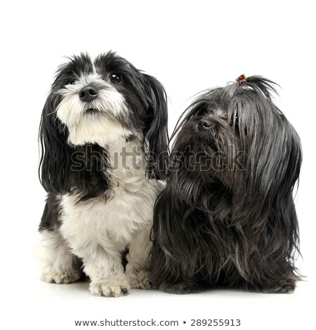 shi tzu and a havanese are sitting in a white studio and looking Stock photo © vauvau