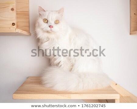 Házimacska élvezi fehér fotó stúdió szépség Stock fotó © vauvau