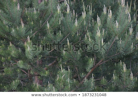 Young Sprouts Green Cones Stock photo © zhekos