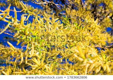 spring twig of willow with young green leaves and yellow catkins stock photo © bsani