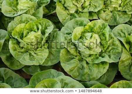 Weinig juweel sla twee witte groene Stockfoto © Digifoodstock