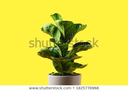Houseplant isolated on yellow  background Stock photo © Valeriy