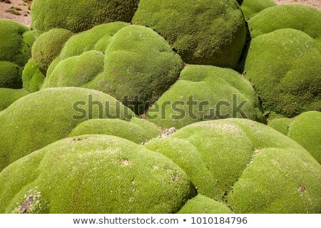Rock covered with moss in Bolivian sud lipez Stock photo © daboost