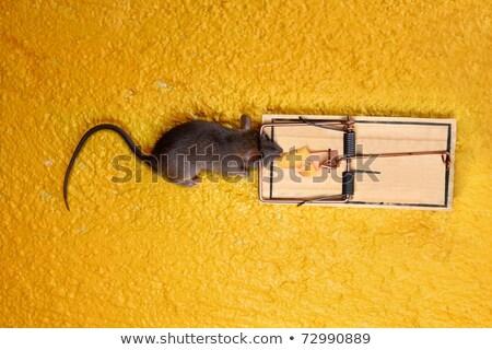 死んだ マウス チーズ トラップ 黄色 ボディ ストックフォト © lunamarina