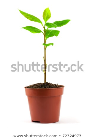 Küçük defne ağaç pot doğa sağlık Stok fotoğraf © Alexan66
