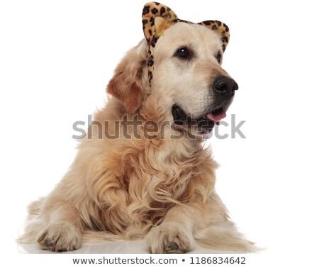 adorable golden retriever wearing animal print headband looks to Stock photo © feedough
