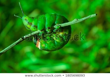 зеленый Caterpillar изолированный белый бабочка черный Сток-фото © grafvision