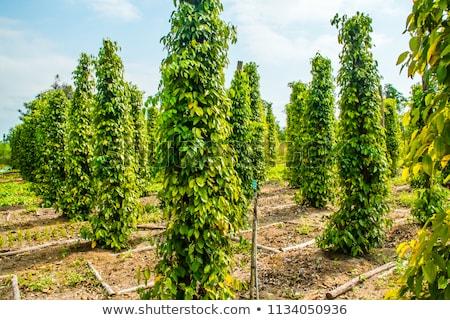 Feketebors farm Vietnam fekete növény trópusi Stock fotó © galitskaya