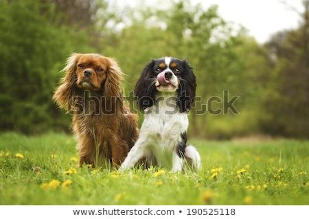 cavalier king charles and chihuahua Stock photo © cynoclub