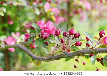 Spray of pink blossom buds on a crab apple tree Stock photo © sarahdoow