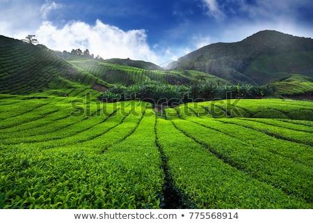 Panorama yeşil çay batı sabah güney Hindistan Stok fotoğraf © dmitry_rukhlenko