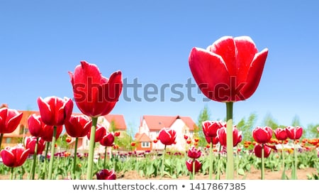 close up of sunny tulip bouquet or flower meadow stock photo © nelosa