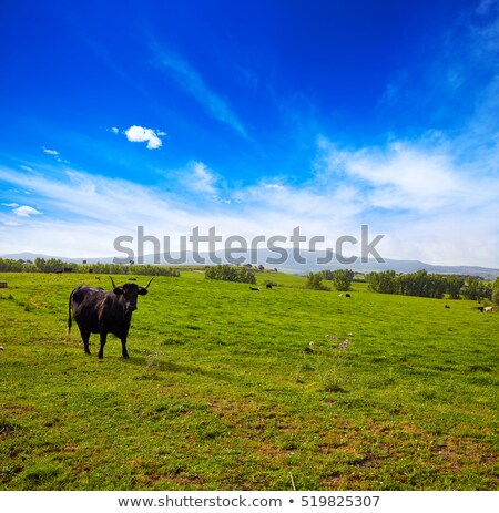 fighting bull grazing in Extremadura dehesa Stock photo © lunamarina