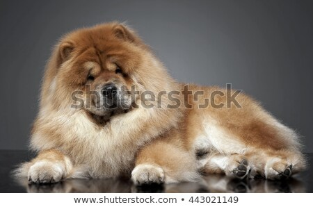 Stock photo: Chow chow in a gray photo studio