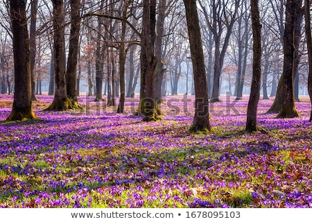 Tavasz ibolya virágok makró lövés természet Stock fotó © vapi
