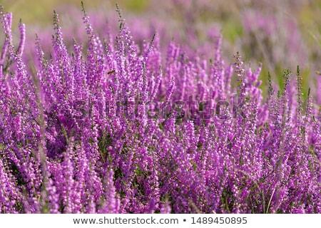 heather calluna vulgaris bush stock photo © homydesign