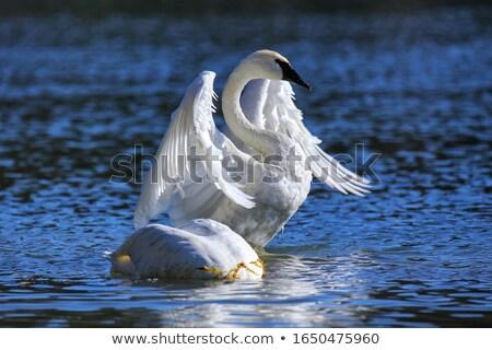 trumpeter swan stock photo © devon