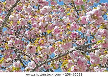 Stock fotó: Virágzó · dupla · cseresznyevirág · fa · égbolt · virág