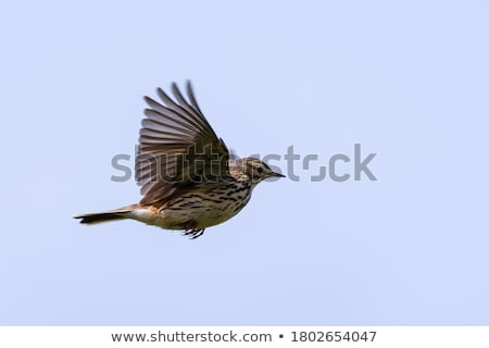 Meadow Pipit (Anthus pratensis) Stock photo © dirkr