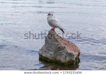 одиноко белый голубя воды бассейна вечер Сток-фото © ultrapro