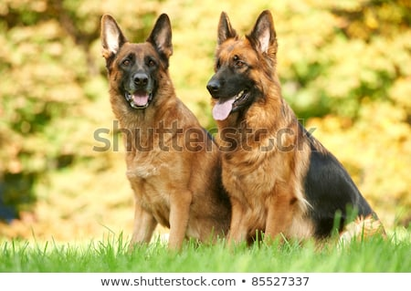 güzel · çoban · köpek · açık · havada · sıcak · akşam - stok fotoğraf © lightpoet