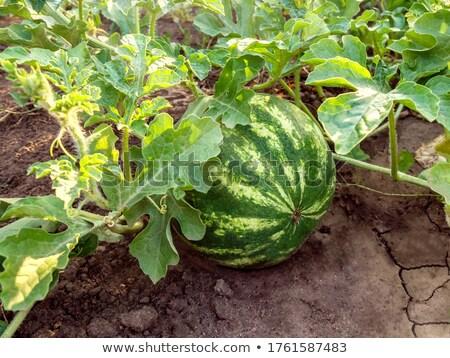 watermelon under sunlight stock photo © cosma