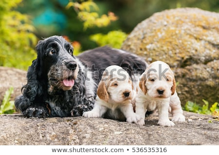 two puppy of brown english cocker spaniel stock photo © artush