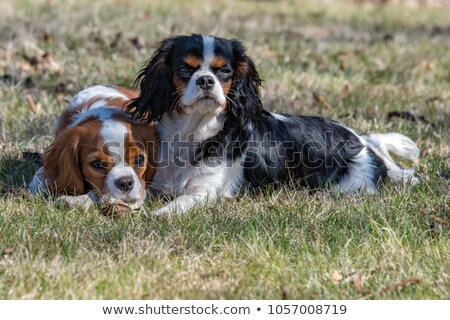 newborn cavalier king charles Stock photo © cynoclub