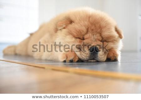 chow chow in studio Stock photo © cynoclub