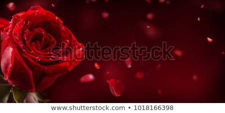 A fresh red rose Stock photo © bluering