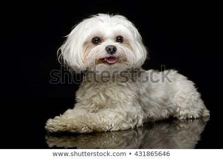 Stock photo: Shih-tzu in the dark photo studio