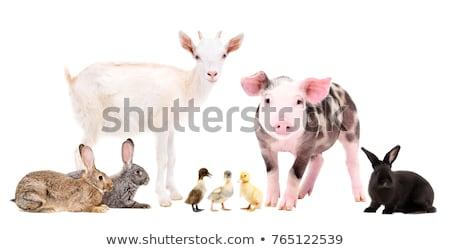 Happy rural farm animals Stock photo © bluering