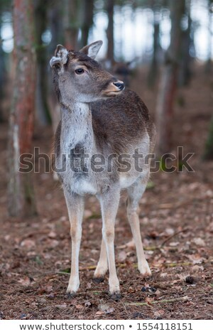 fallow deer buck in beautiful autumn setting stock photo © taviphoto
