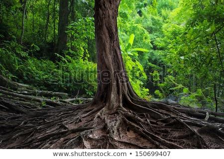 Ciemne Rainforest duży drzew krajobraz ilustracja Zdjęcia stock © colematt