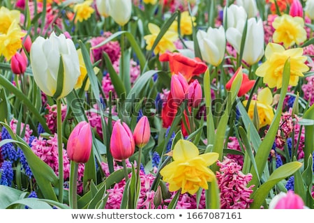 colorful tulips in spring stock photo © barbaraneveu
