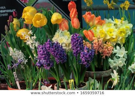 Tulpen roze Blauw bloemen sluiten tuin Stockfoto © neirfy
