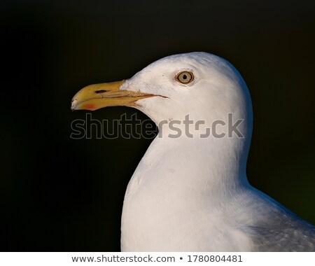 cabeça · gaivota · cara · oceano · azul · branco - foto stock © bobkeenan