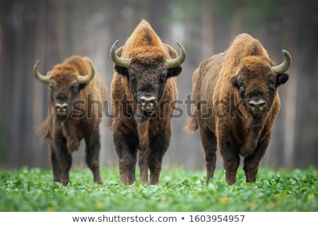 European bisons grazing  stock photo © czbalazs