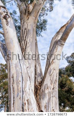 Eucalyptus trunk wood surface texture Stock photo © lunamarina