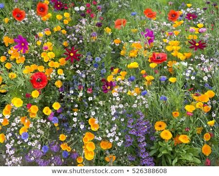 Haşhaş çiçekler kır çiçeği çayır çim doğa Stok fotoğraf © meinzahn